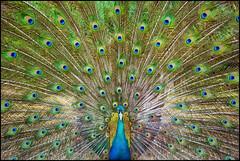 Feathers Wide Open (Souvik_Prometure) Tags: thailand phiphi peacock phuket kohphiphi sigma1020mm sigma1020 flickrsbest nikond80 kohrangyai souvikbhattacharya