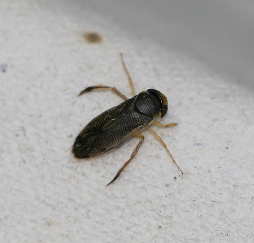 Water Boatman sp