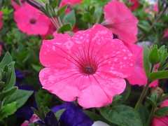 Petunias After the Rain (Dave Roberts3) Tags: park pink flower wet water rain wales droplets cymru cardiff caerdydd petunia soe roath catchycolorspink otw bej mycameraneverlies mimamorflowers