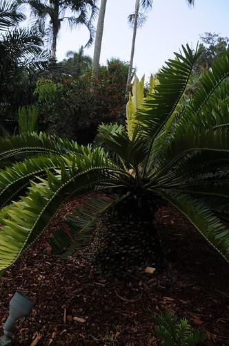 encephalartos manikensis5