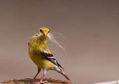 Bird with a Moustache (Mi Bob) Tags: bird hair moustache naturesfinest yellowbird anawesomeshot