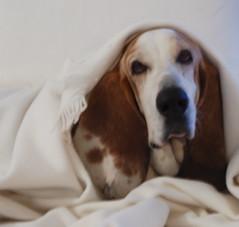 george. (sfgirlbybay) Tags: dog george sleepy blanket bassethound narcoleptic notsadjustlooksthatway georgehasafacebookpagewithover200friends hesverypopular