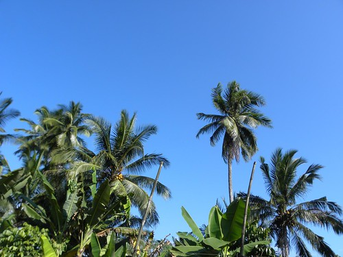 Sg Ayam | Pokok kelapa halaman rumah