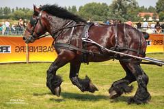 PH_8402 (Peet de Rouw) Tags: horse competition trial draft paard knol peet werkpaard powerhorse trekpaard denachtdienst peetderouw peetderouwfotografie