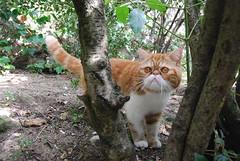 Guayar (AndreaTrueStar) Tags: cat gata tigre exotica