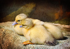 Cuddle Buddies (Tracey Tilson Photography) Tags: new summer two baby beach sc yellow rock duck pond nikon sweet south innocent feathers duckling fluffy down explore together cuddle carolina creature frontpage sunning d90 pregamewinnermay10