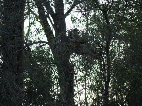 DSC07500 Southern Giraffe hiding