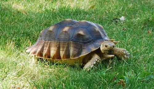 African tortoise zoomed