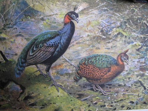 illustration of Afropavo that appeared in Chapin's Birds of the Belgian Congo