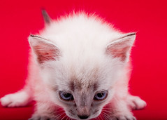 Looking at the Comments (Sergiu Bacioiu) Tags: pet cats pets white black cute beautiful animal cat fur kitten feline flickr pretty little sweet expression small istockphoto young adorable kitty kittens whiskers domestic curious charming breed shutterstock