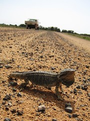 Scarey Dragon (Gillian-r) Tags: wild sand australia lizard nsw dirtroad ontheroad beardeddragon riverina notapet stonechips australianreptile defenseposture
