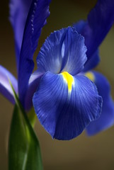 Iris - Blue (M-O-O-N that spells ...) Tags: flowers iris moon spring perth sprint westernaustralia araluen aug09