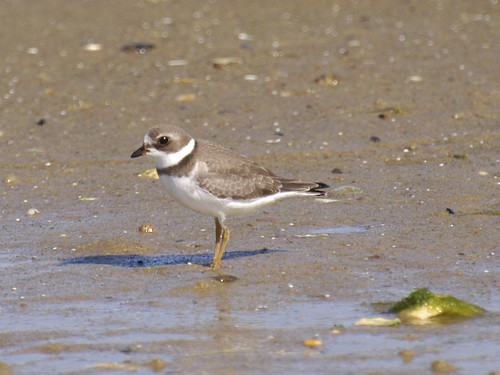 Juvenile Semipalmated Plover 3