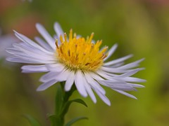 Aster (Sinkha63) Tags: autumn france flower macro nature fleur automne garden jardin asteraceae aster flore limousin pgt masterphotos curemonte astraces platinumheartaward composes naturimages
