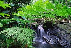 El Yunque National Forest (travelphotographer2003) Tags: green beauty waterfall rainforest solitude puertorico fresh mysterious verdant elyunque lush atmospheric treefern tropicalrainforest caribbeannationalforest thomasrfletcher