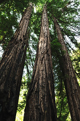 tall timber ((nz)dave) Tags: county trees nature forest landscape outdoors nikon nopeople redwood campground sanmateo memorialpark d300 sigma30mmf14exdchsm lomamar wurrflat