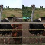 Ostrich (parallel 3D) thumbnail