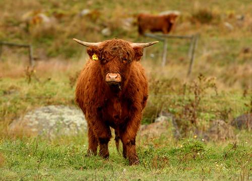 Highland Longhair Cattle Highland