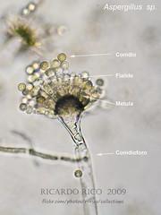 Aspergillus (Ricardo Rico) Tags: aspergillus deuteromycota