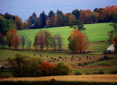 Vermont Countryside (rich66 ~~) Tags: autumn trees horses fall field grass rural fence season landscape countryside colorful vermont cows newengland scene farmland foliage pasture cornstalks pastoral route7 somewherebetweenthemassborderandpownal
