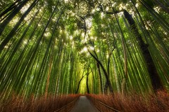 The Bamboo Forest and some great Twitter Lists to follow (Stuck in Customs) Tags: travel trees wild sunlight color green monument nature grass japan gardens rural forest garden landscape photography golden blog site high scenery kyoto colorful asia pretty alone quiet peace dynamic natural outdoor path walk district country scenic bamboo historic september arashiyama  serene top100  kansai range 2009 hdr trey bambu cultural sagano honshu kyto  ratcliff twitter stormmountain okk honsh stuckincustoms  osakakobekyoto kytofu nikond3x  soetop50japanmustsee soetop50spotsfordaydreamers kinenbutsu