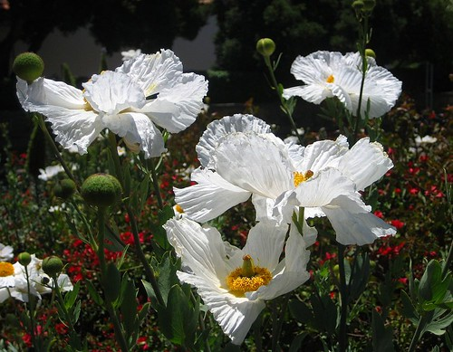 Matilija Poppies 7