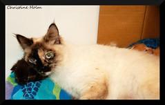 Momma Love (fetuslasvegas) Tags: rescue pet cats pets animal animals kitten feline kitty kittens litter kitties rescuedanimals rescuedcats rescues straycatlitter