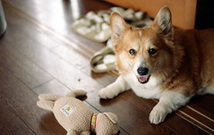 have a nice new week!! (komehachi888) Tags: dog corgi leicam6 pitan filmshots heliar50mmf2 lucky200