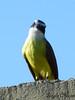 Pose para foto (Layza Chacon) Tags: pássaro amarelo tomandosol bentivi