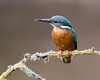 Female Kingfisher (Andrew Haynes Wildlife Images) Tags: bird nature female wildlife kingfisher worcestershire ajh2008 canon1dmkiv