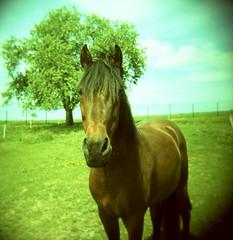 Bert (cx33000) Tags: horse 6x6 mediumformat caballo cheval iso100 holga kodak luxembourg elitechrome pferd
