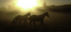 Horses in the Morning (Dancingmonkey.org) Tags: california horses mist fog sunrise earlymorning centralvalley loh