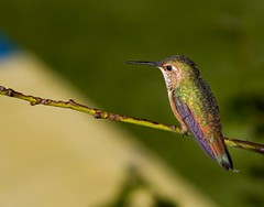 Hummingbird _MG_7679 (zingpix) Tags: usa bird jeff washington all hummingbird  rights jeffrey hummer humming reserved whatcom allrightsreserved zingpix jeffjaquish jaquish jeffreyjaquish