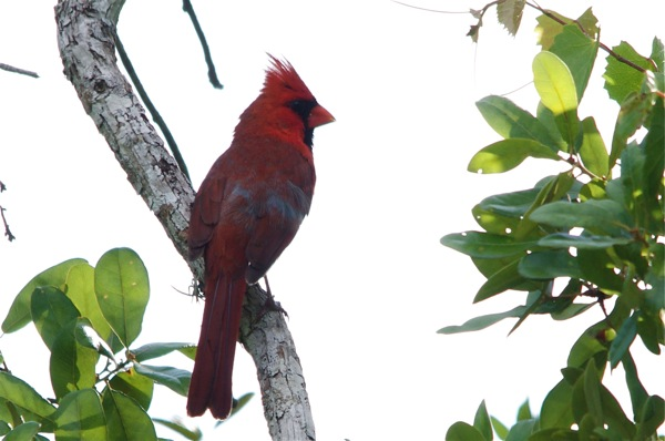 cardinal_light_back_0099