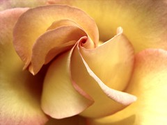 "Rose (luckyonthecliff, Kathy ""Cody"" Robinson) Tags: pink rose yellow fabulous richards fineartphotography bellissima polestar thegoldengallery flowerpictures addictedtoflickr masterphotos theworldisbeautiful hitmewithyourbestshot afloweraday worldmasterpiece macromarvels ahqmacro abovealltherest flickrsawesomeblossoms artistandhighqualitymacro grouptripod macroforbeginners dragondaggerphoto cffaa zuzkasfaves daarklands flowersonflickr mamasbloomers lirodon nosasfloresourflowers gabrigroup"