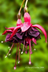 Fuchsia 'Dark Eyes' (David Crosbie) Tags: flowers plants macro garden fuchsia supershot fuchsiadarkeyes