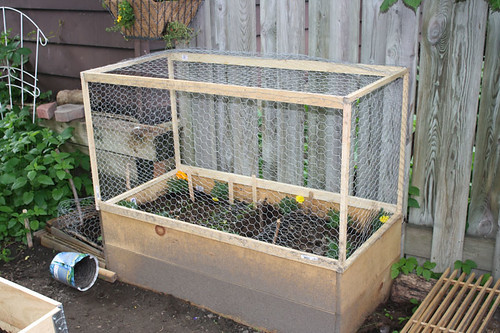 This is the most lopsided cage ever.  The fence is in the way, I got tangled in staples and chicken wire, and have no knack for building.  Ah well, itll do the job.