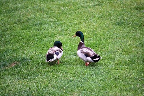 Kona Kai Resort - Duckies