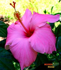 pink- rosada  / Hibiscus- rosemallow from EL SALVADOR (morito36pa) Tags: flowers flores hibiscus elsalvador colourartaward theperfectpinkdiamond morito36pa moisesrivas