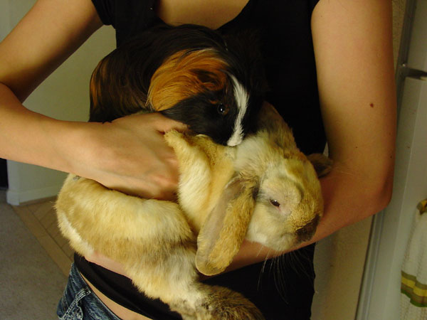 Lop bunny and guinea pig