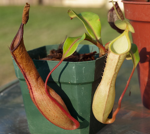 Nepenthes Alata var. Elongata