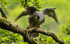 YOUNG PEREGRINE FALCON (spw6156) Tags: copyright lens hand steve young iso 400 falcon cropped mm 500 held 13 nationaltrust rd raptors waterhouse peregrine plymbridge cannquarry spw6156 stevewaterhouse plymperegrineproject plymbridgeperegrinefalcons copyrightstevewaterhouse