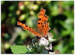 Comma enjoying bramble flowers (macfudge1UK) Tags: uk flowers summer england nature butterfly bug insect bush flora europe britain lepidoptera gb blooms 2009 soe brambles oxfordshire comma oxon polygoniacalbum stantonharcourt allrightsreserved golddragon abigfave countryfile anawesomeshot magicofaworldinmacro s100fs fujifilmfinepixs100fs fantasticinsect fujifilmfinepixs100fsawards