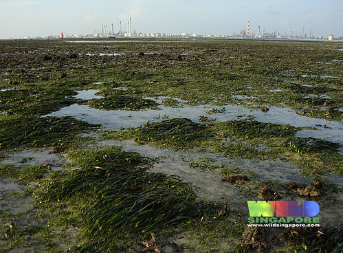 Seagrass meadows of Cyrene overlooking Pulau Bukom