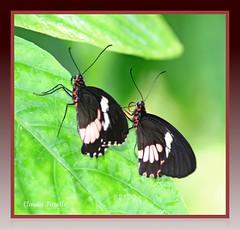 Follow You, Follow Me (Photography by Claudia Fanelli) Tags: canon butterfly butterflies genesis digitalrebel philcollins southflorida followme butterflyworld pianokey twofer coconutcreek 7909 seorashutterbug mtvmb seorandseoramariposa shouldgetaroomatthehamptoninn