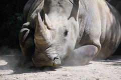 Black Rhino (Jenny C.) Tags: blackrhino henrydoorlyzoo rhinoceroses pachydermhill