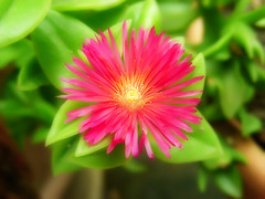 Another take (Gilbert Rondilla) Tags: camera pink flowers plants plant flower color macro nature up horizontal closeup photoshop garden point photography photo petals nikon shoot close philippines explore tiny gilbert filipino digicam notmycamera own pinoy s10 borrowedcamera pns rondilla notmyowncamera gilbertrondilla gilbertrondillaphotography luisianian