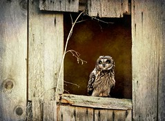 The Wise Owl ( Explore ) (Nick Kenrick..) Tags: ocean travel sea summer vacation holiday nature barn landscape island quiet peace photographer professional owl hdr barnowl oldbarn rucklepark ruckle greatgrey wiseowl nationageographic saariysqualitypictures zedzap magicunicornverybest selectbestexcellence magicunicornmasterpiece saltspting sbfmasterpiece selectbestfrontpagephoto