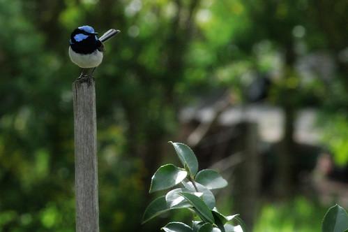 a blue wren