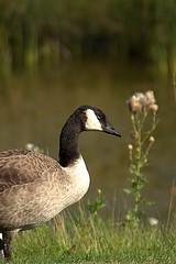 Canadian Goose (Nilo Manalo) Tags: geese canadian lakewinnipeg heclaoasisresort radissionhotel